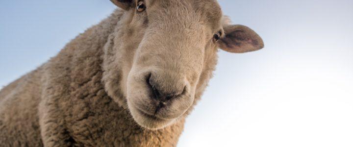 Gefragt: Ist Schafzucht gut für das Klima? (Serafina)
