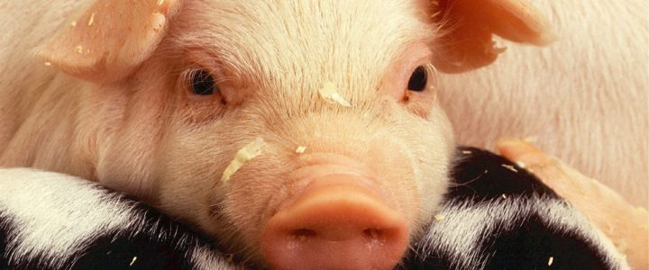 Gefragt: Sind tote Schweine in unserer Schminke? (Beiträge von Lara und Sara)