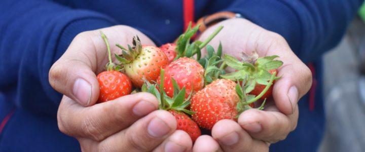Lebenszyklus Siegburger Erdbeeren